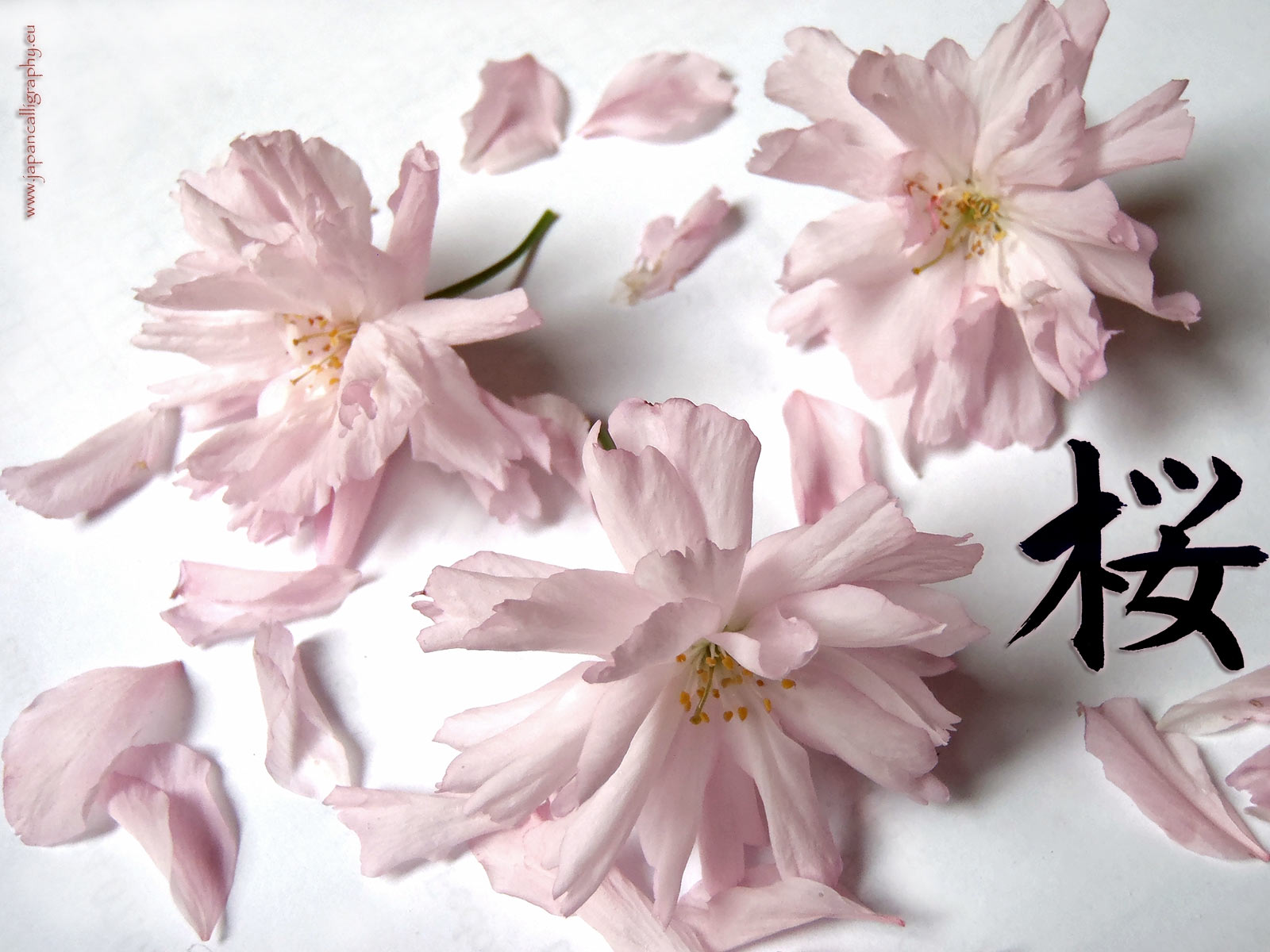 Photo of Sakura. Kanji Sakura